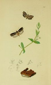 An illustration from British Entomology by John Curtis. Lepidoptera: Galleria mellonella