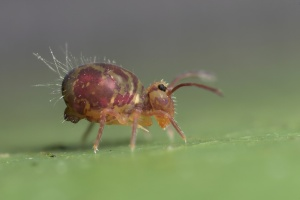 Globular Springtail Dicyrtomina saundersi. Body length = 1.7mm. Picture by Lord V. Used with permission.