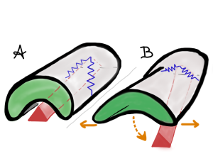 "Click mechanism model of the furca. The furca, at rest, is retracted into an abdominal ventral groove. A pair of ""basal rods"" (springs) are embedded in ventral and lateral parts of the abdominal sclerites 4 & 5, these springs also attach to the apex of the furca. The spring/click mechanism gets help from muscle and active dorsiflexion of the body, which both help release to spring organ from the groove)"