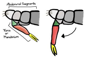 The springing mechanism of a generalized springtail; partially retracted (left) and extended (right).