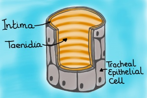 Cross section of tracheal tube. A tracheal tube is comprised of an epidermal outer layer which bathes in hymolymph, an inner intima layer, and taenidia which reinforce the intima layer much like a car's radiator hose is reinforced by coil of steel. (Drawing by Marianne Alleyne)
