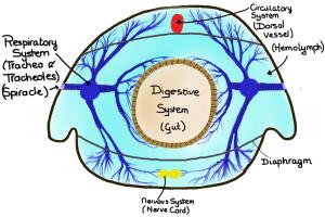 TrachealSystem