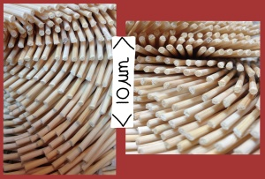 The helicoidal stacking of chitin-protein layers (matrix) creates a twisted arrangement. This creates a arching pattern in the cuticle as a whole. (Pictures by Marianne Alleyne)