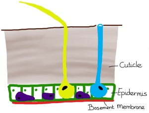 The insect integument. Let's call this meso-level hierarchy. The integument is comprised of an epidermal cell layer and cuticle.