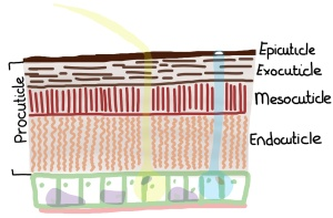 The insect integument. Let's call this meso-level hierarchy. The integument is comprised of an epidermal cell layer and cuticle, all on top of basement membrane. (Drawing by Marianne Alleyne)