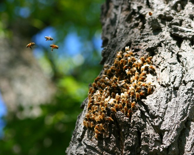HoneybeeSwarmTree