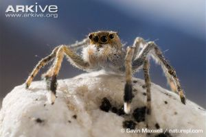Himalayan jumping spider by Gavin Maxwell via Arkive
